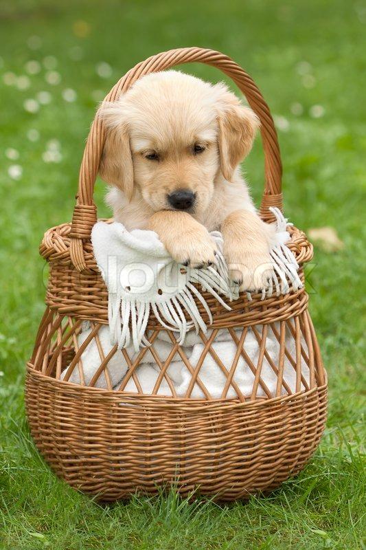 Golden Retriever Puppy In A Wicker Basket Stock Photo