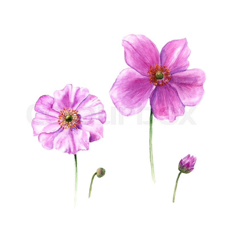 Watercolor Anemone Flowers And Buds Hand Drawn Single Flower Isolated On White Background Artistic Floral Element Botany Illustration