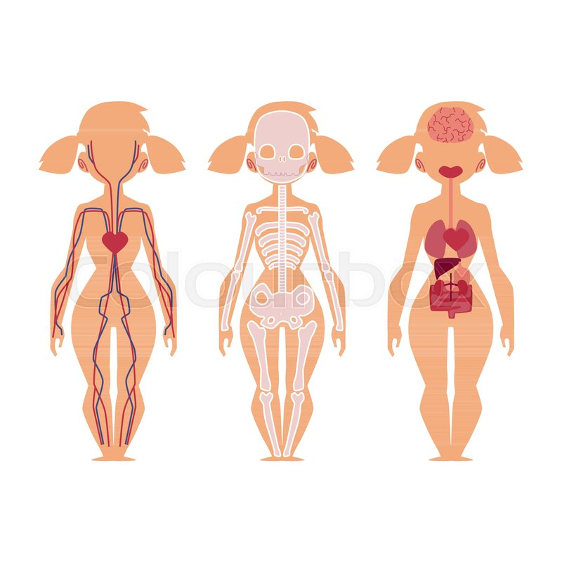 Vector flat structure of the human body, anatomy - female, internal ...