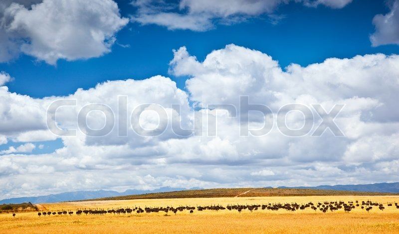 South African ostrich, farm of birds, beautiful natural landscape with animals, eco tourism, adventure travel, wildlife safari, stock photo