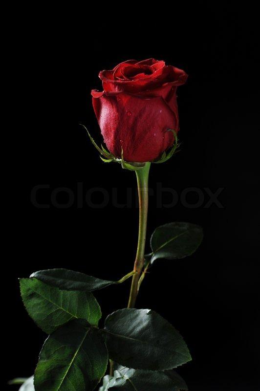 sch ne rote rose mit tautropfen auf einem schwarzen hintergrund stockfoto colourbox. Black Bedroom Furniture Sets. Home Design Ideas