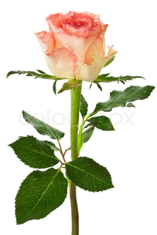 Single beautiful rose on a white     | Stock image | Colourbox