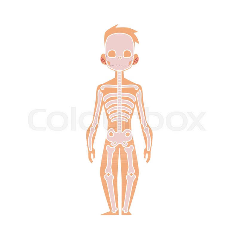 Vector flat structure of the human body, anatomy - male bones, human ...