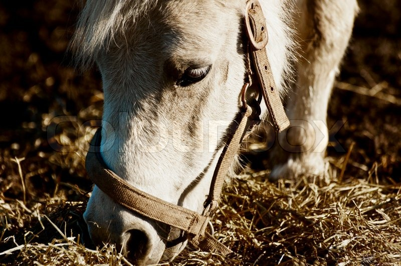 Stock image of 'Pony horse eating hay Oslo Norway'