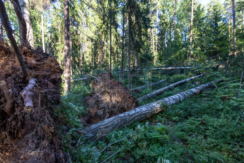 Fallen trees in the forest after the hurricane, stock photo