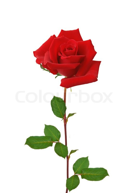Beautiful Red Rose Isolated On White Background Stock