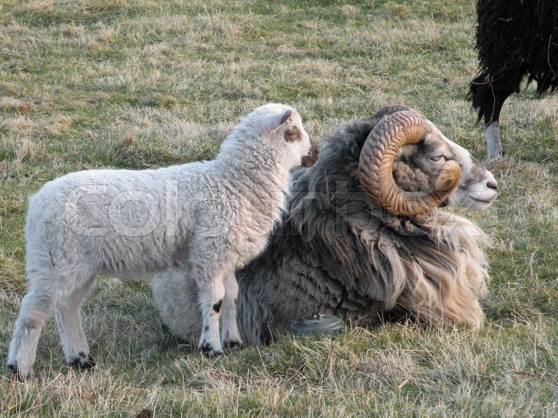 Sheep with big horn and lamb | Stock Photo | Colourbox