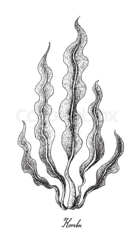 Sea Vegetables, Illustration of Hand Drawn Sketch Kombu Seaweed ...