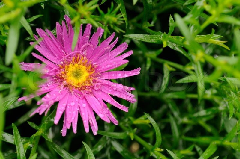 pink aster flower with leaves  stock photo  colourbox, Beautiful flower
