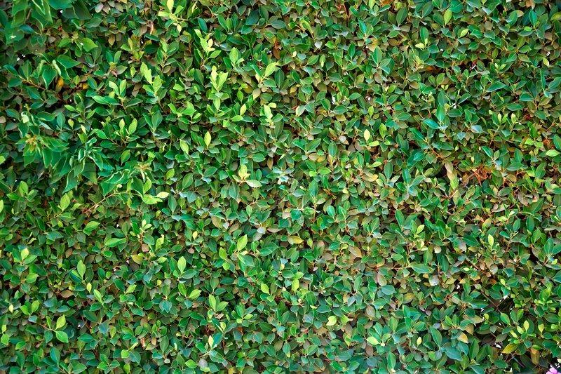 A Seamless Green Wall In The Garden Stock Photo Colourbox