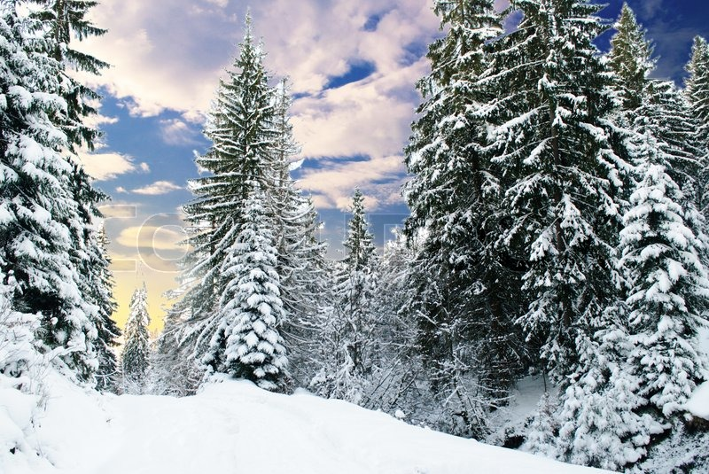 snowy fir trees forest - photo #9