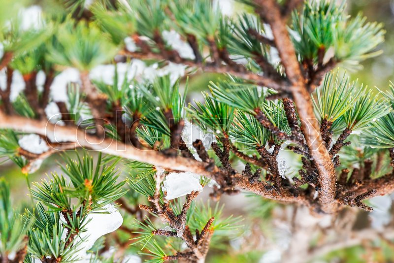 Cedar tree background, beautiful fresh green needles on the coniferous tree branch, natural floral wallpaper , stock photo