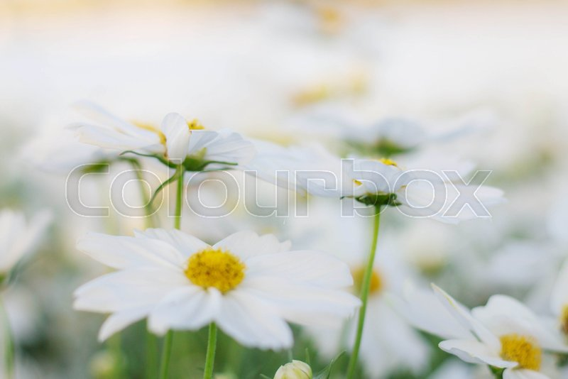 White cosmos flowers with beautiful and pure stock photo colourbox mightylinksfo