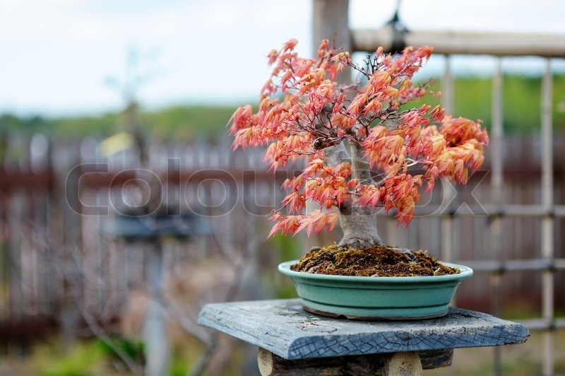 red bonsai baum in einem japanischen garten stockfoto. Black Bedroom Furniture Sets. Home Design Ideas