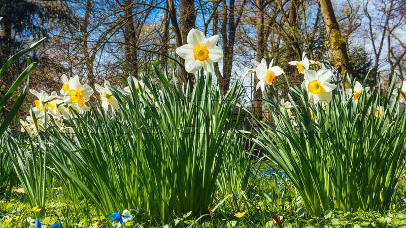 Spring narcissus flowers flowers in spring season stock photo stock image of spring narcissus flowers flowers in spring season mightylinksfo
