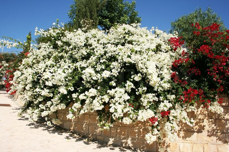 Red And White Bougainvillea Flowers In Cyprus Village