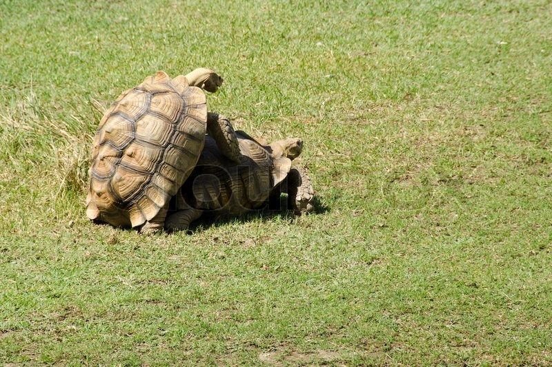 Stock image of 'African spurred tortoise mating'