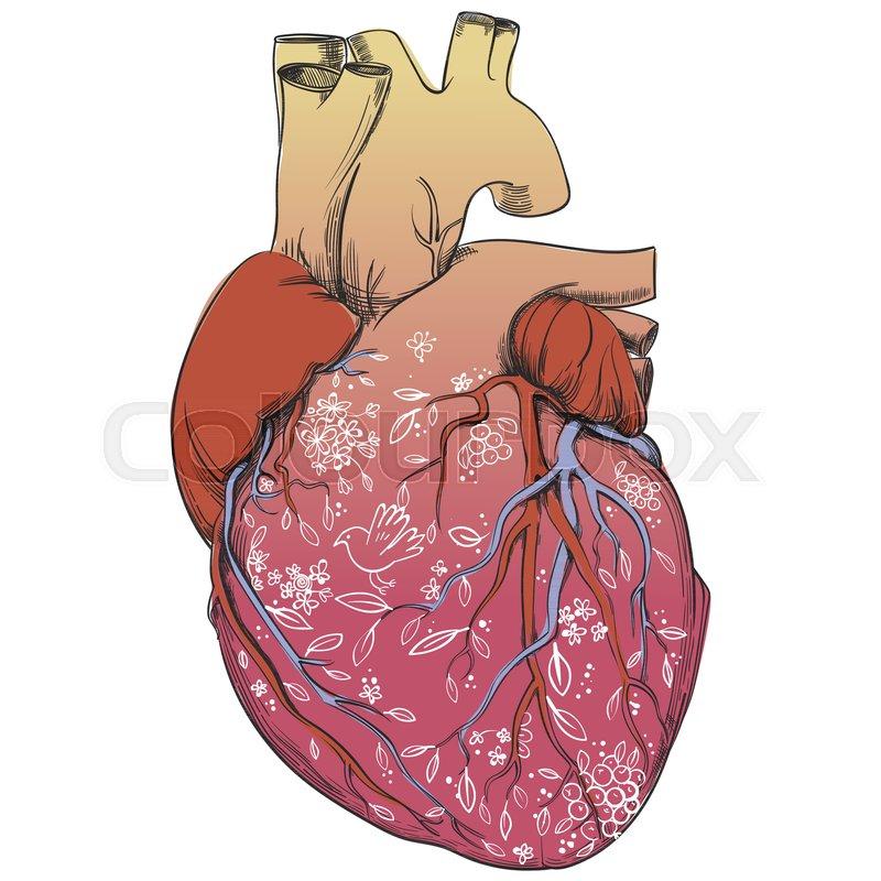 Anatomie, unbeschriftet, lungen- | Vektorgrafik | Colourbox