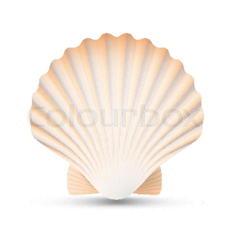 Scallop Seashell Vector Beauty Exotic Souvenir Scallops Shell