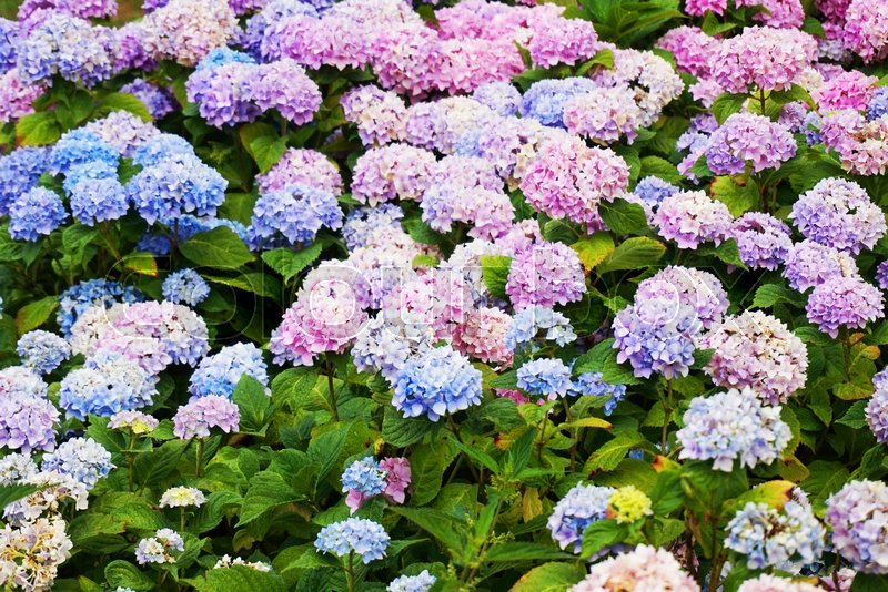 Hortensia Flowers As Very Nice Color Natural Background Stock - Color-hortensia