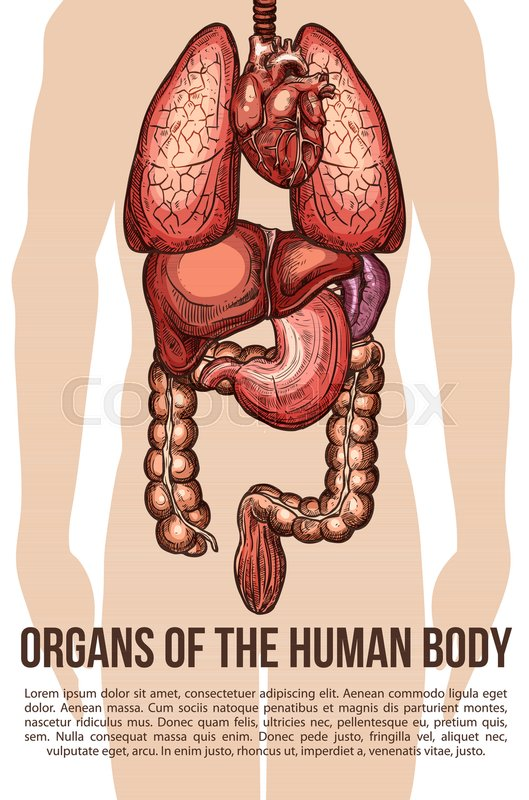 Human body organs medical sketch poster. Vector design of digestive ...