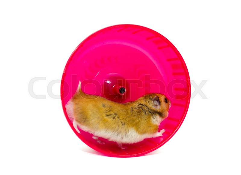 Cute Syrian Hamster Running In A Bright Stock Image Colourbox