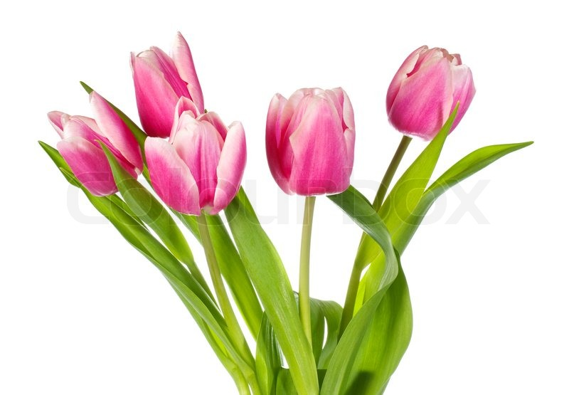spring holiday pinkwhite tulip flowers isolated on white, Beautiful flower