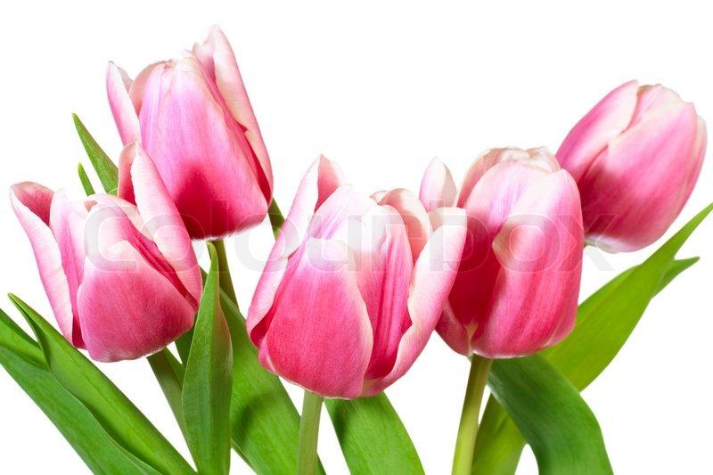 Spring holiday pink white tulip flowers isolated on white background spring holiday pink white tulip flowers isolated on white background stock photo colourbox mightylinksfo