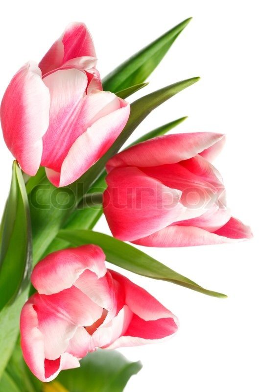 Spring holiday pink-white tulip flowers isolated on white ... White Tulip Flower