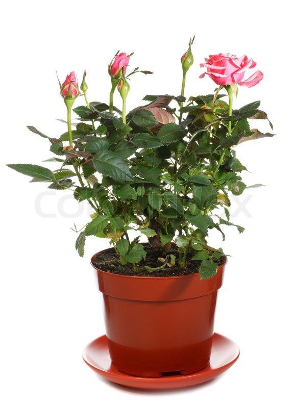 нередко заблуждаются, сон розы в горшке Березинского района так