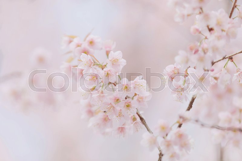 Cherry blossom pink flowers , Cherry flowers in small clusters on a cherry tree branch on pink background, stock photo