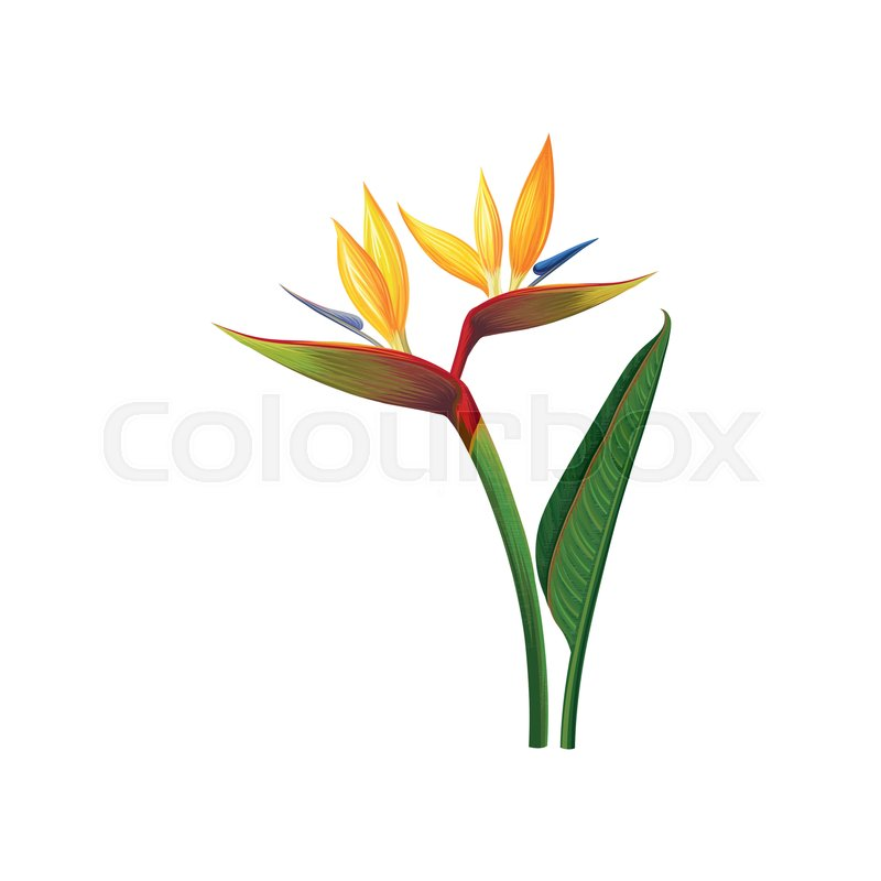 Beautiful Bird of Paradise flowers, exotic plant vector Illustration isolated on a white background, vector