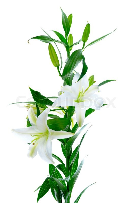 Beautiful white lily flowers isolated on white background | Stock ...