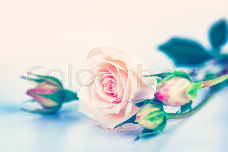 Soft pink dreamy roses, beautiful flowers bouquet over lite ...