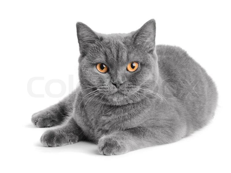 Grey And Black Tortoiseshell Cat