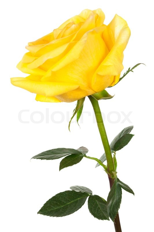 single yellow rose on a white background stock photo