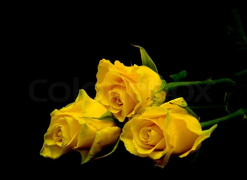 Bouquet of three yellow roses on a black background ...