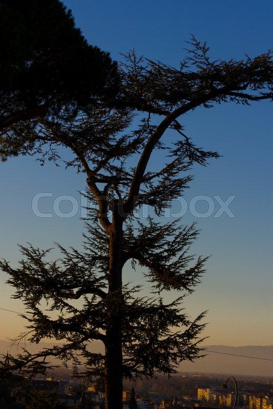 Cedar tree silhouette on night sky background. Sunset, stock photo