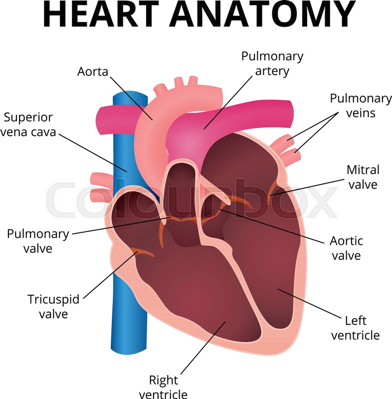 Human heart, an organ in a cut, the operation of the heart valves ...