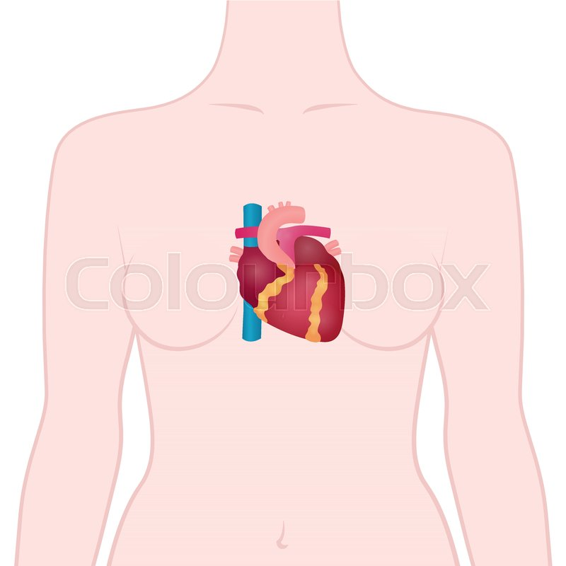 Anatomy of the human heart, the location of the heart in the human ...