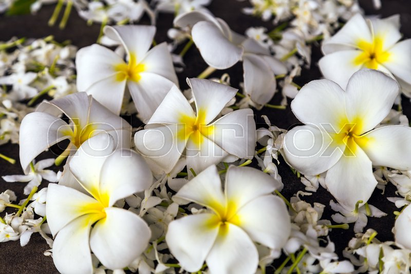 Frangipani flower in tropical garden plumeria flower tropical frangipani flower in tropical garden plumeria flower tropical white flowers stem spring day for floral postcard stock photo colourbox mightylinksfo
