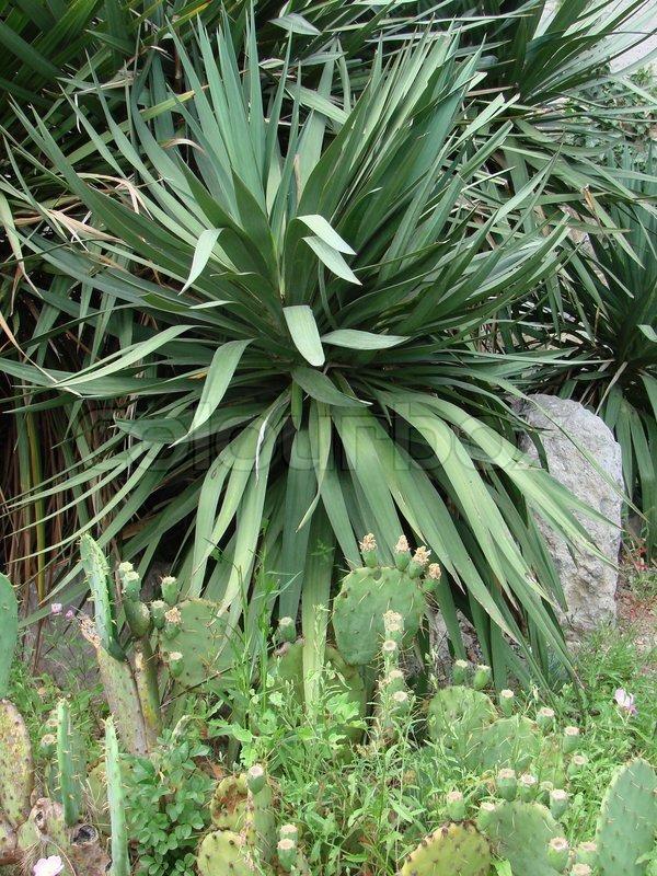 palme tr yucca eksotiske stock foto colourbox. Black Bedroom Furniture Sets. Home Design Ideas