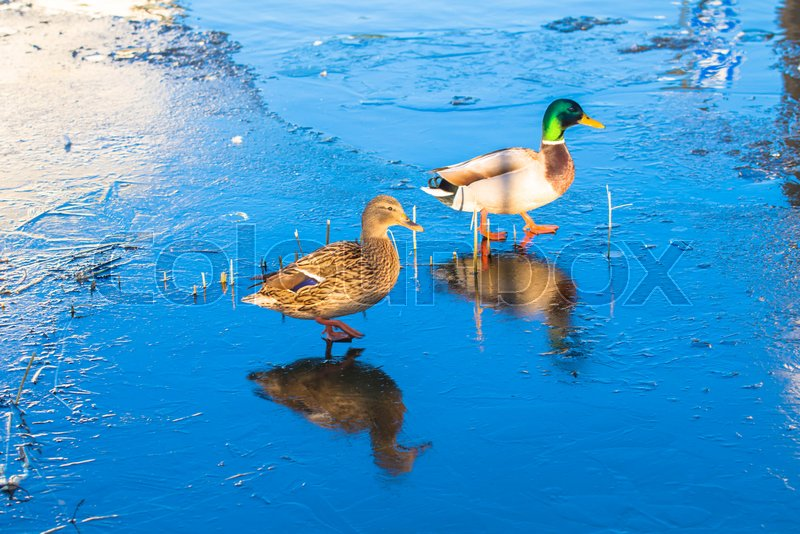 Wild ducks, steam, duck and drake, walk on thin ice. On the ice, the reflection of ducks. Spring or winter, wildlife, birds on thin ice, stock photo
