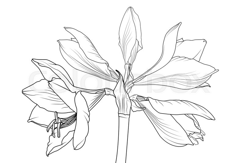 Amaryllis hippeastrum lilly flower isolated black and white outline amaryllis hippeastrum lilly flower isolated black and white outline sketch drawing spring floral bouquet foliage element vector design illustration mightylinksfo