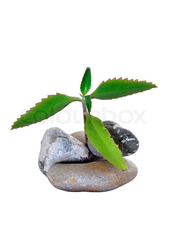 heilpflanze kalanchoe in steinen isoliert auf wei em hintergrund stockfoto colourbox. Black Bedroom Furniture Sets. Home Design Ideas