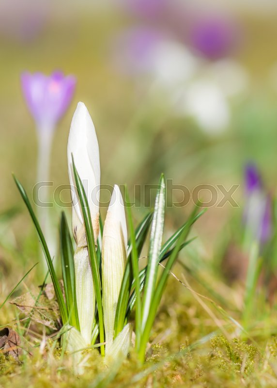 Closeup of white crocus flower buds with selective focus and shallow closeup of white crocus flower buds with selective focus and shallow depth of field stock photo colourbox mightylinksfo