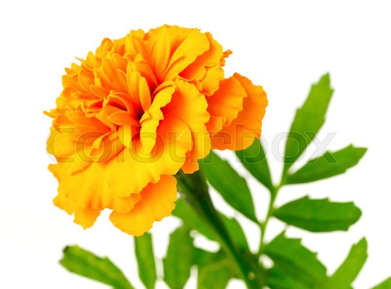 Fresh orange marigold flowers isolated on the white stock photo fresh orange marigold flowers isolated on the white stock photo colourbox mightylinksfo
