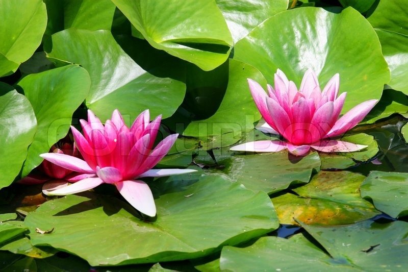 Waterlily pink white green leaf pond plant water flower waterlily pink white green leaf pond plant water flower decoration garden area slice queen of flowers the water kingdom habitat warm calm mightylinksfo