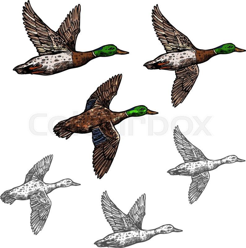 Duck mallard wild bird vector sketch icon. Drake duck flying symbol ...