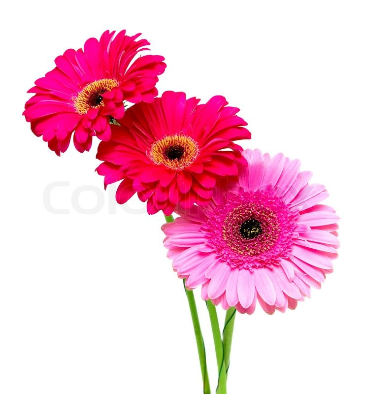 one pink and two red gerbera close up on a white. Black Bedroom Furniture Sets. Home Design Ideas